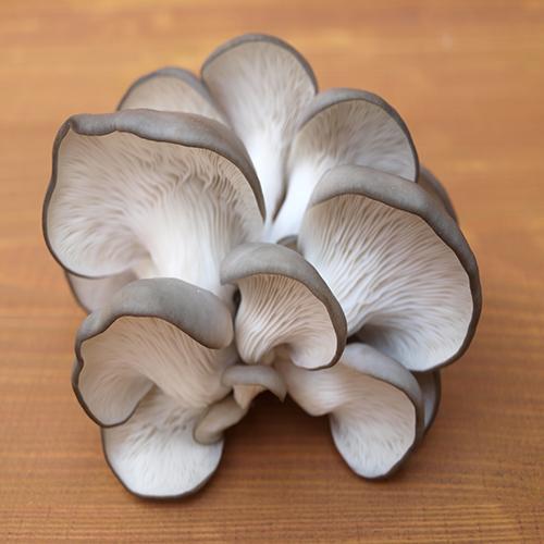قارچ صدفی