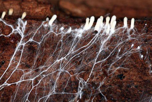 قارچ چگونه مواد غذایی را از کمپوست جذب می کند؟