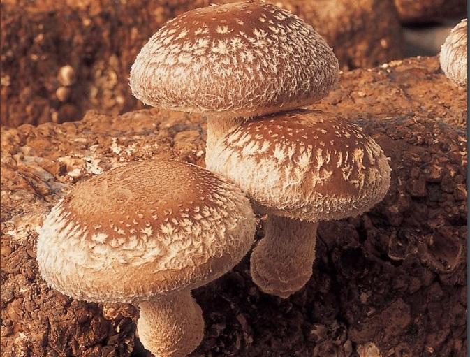 نتیجه تصویری برای قارچ شی تاکه